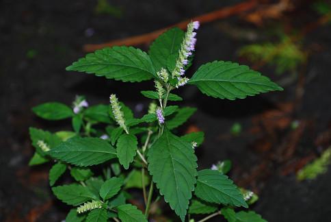ナギナタコウジュに花が