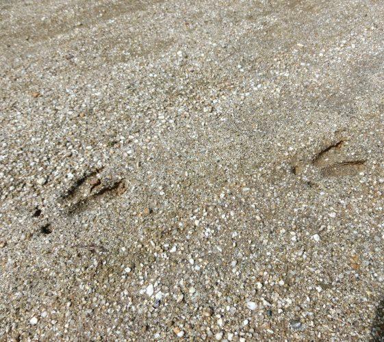 鹿さんの足跡