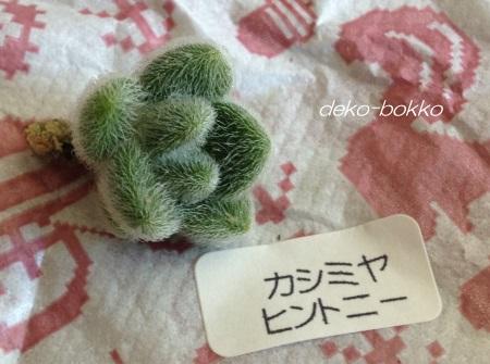 satommy産 カシミヤヒントニー 201508