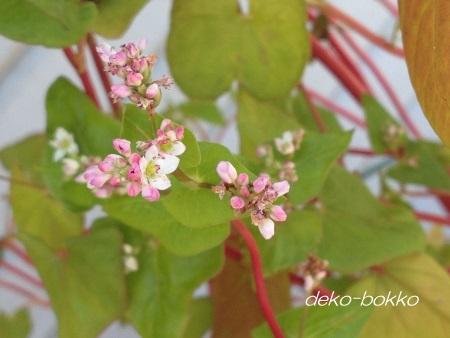 赤蕎麦の花 201508