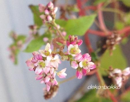 赤蕎麦の花 ピンク色 201508