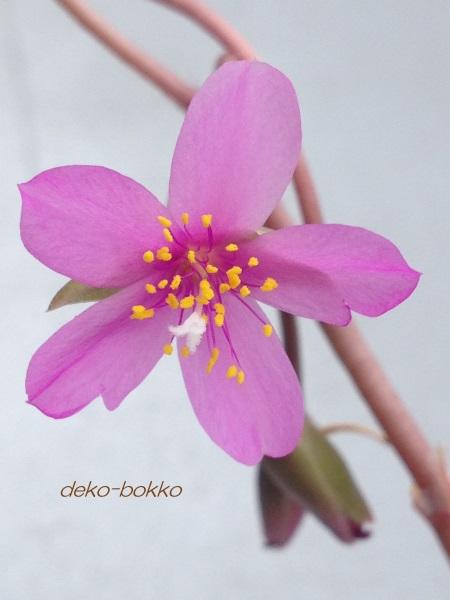 桜吹雪の花 201507