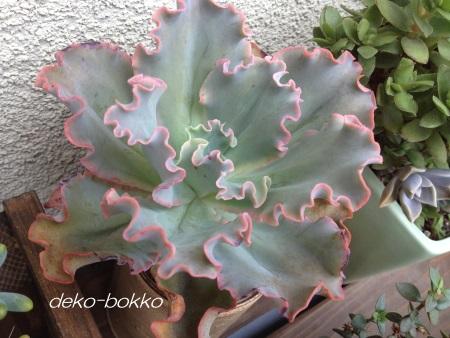 高砂の翁 広島ロハス 紫陽花さん 201509