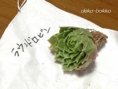 ゆぽぽ産 センペル ラウンドロビン 201510