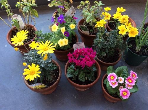 500ピクセル 2015年10月20日と21日に買った花