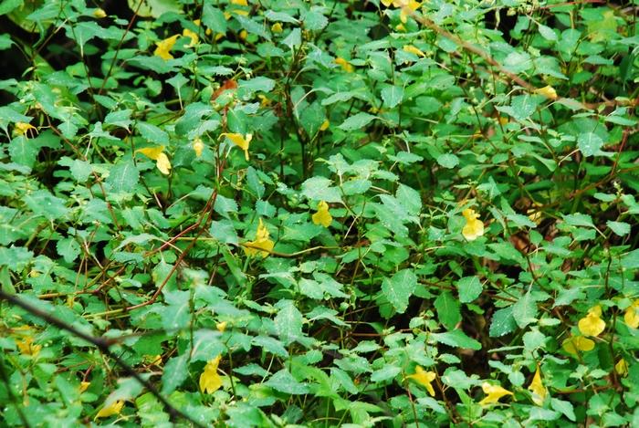 群れ咲く黄ツリブネソウ54