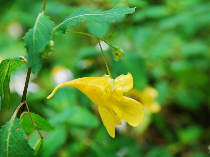 黄ツリブネソウ38