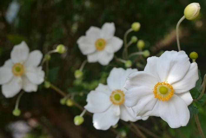 シュウメイ菊7