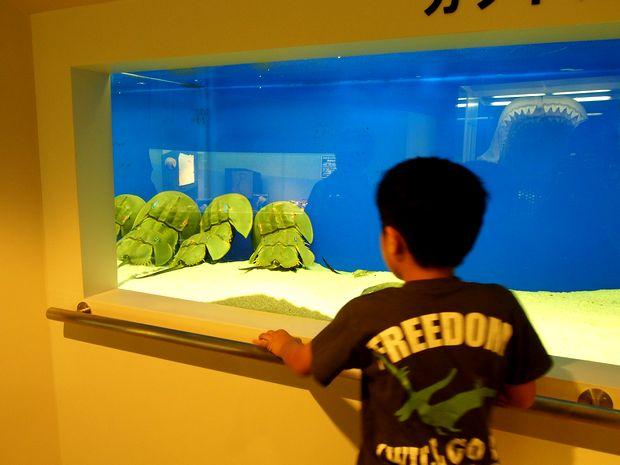 カブトガニ博物館②