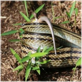 150919E 074蛇食A-SQ