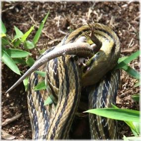 150919E 078蛇食B-SQ