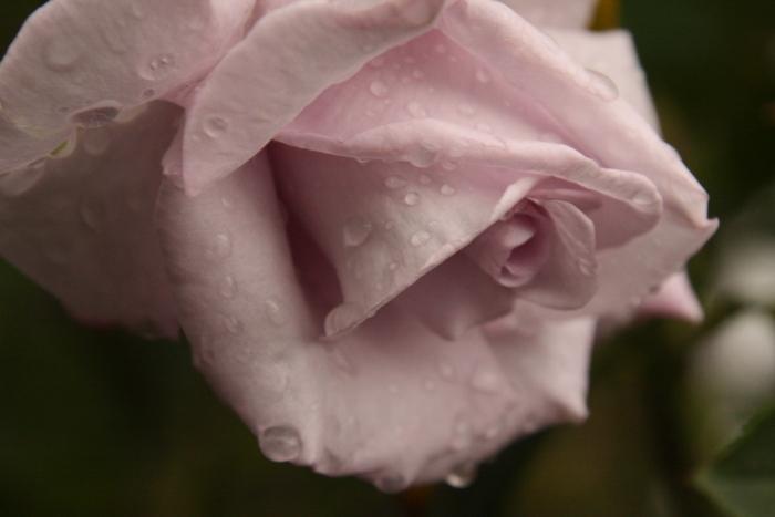 151011-rose-102.jpg