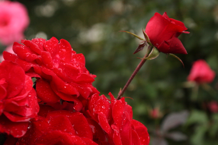151011-rose-107.jpg