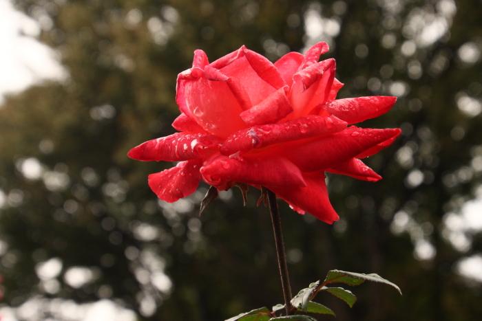 151011-rose-110.jpg