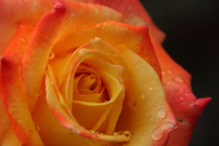 151011-rose-112.jpg