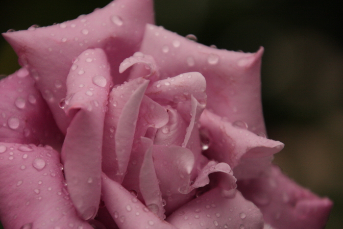 151011-rose-114.jpg