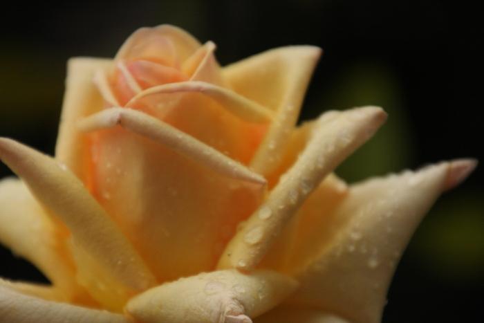 151011-rose-119.jpg