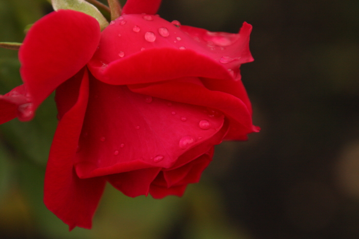 151011-rose-120.jpg