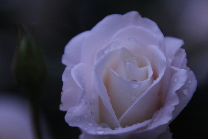 151011-rose-121.jpg