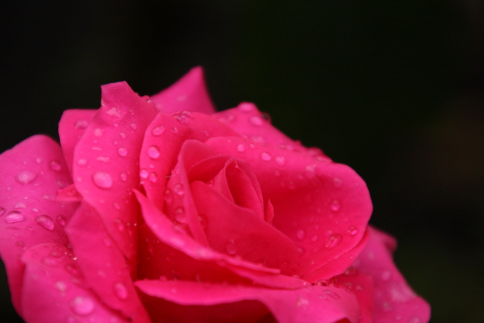 151011-rose-123.jpg