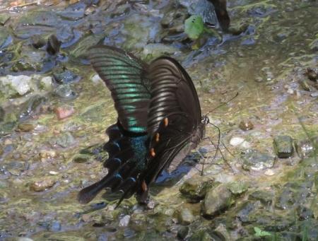 清水蝶のションベン 051