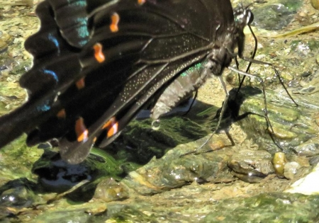 清水蝶のションベン 059