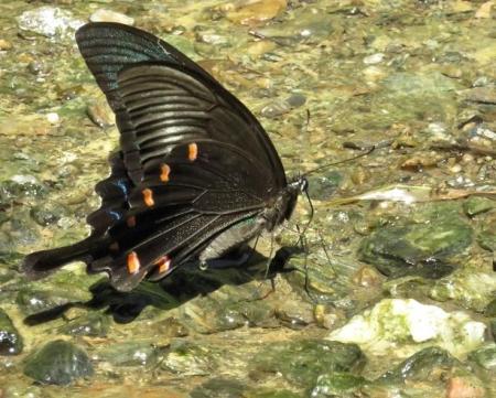 清水蝶のションベン 058