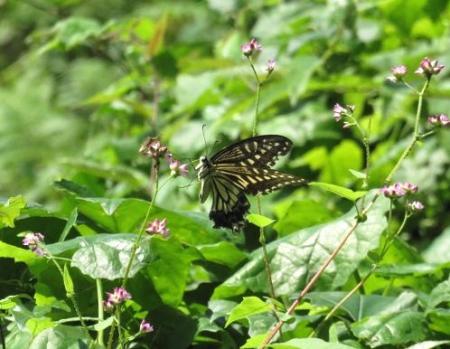 清水の蝶達 023