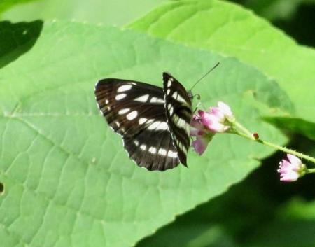 清水の蝶達 036