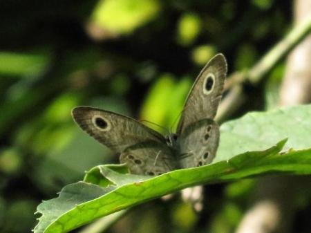 清水の蝶達 027