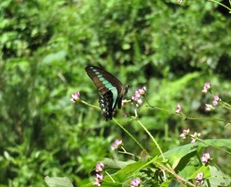 清水の蝶達 033