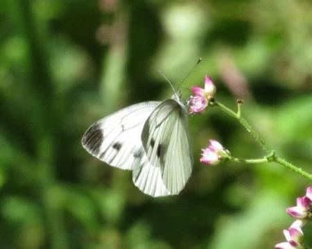 清水の蝶達 028