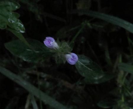 雨清水センブリ天山 073