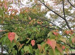 9-16紅い葉