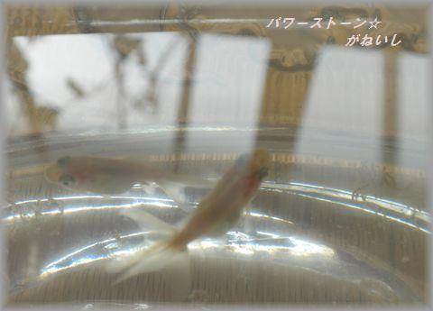 そだった金魚