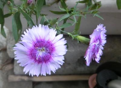 150919-紫なでしこ-2