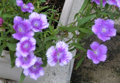 150919-紫なでしこ-3