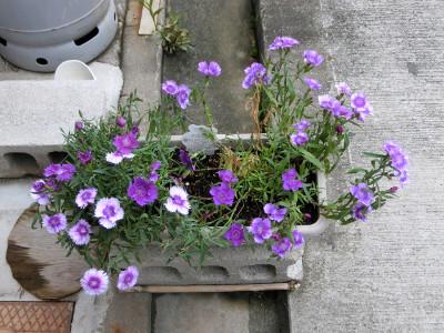 150919-紫なでしこ-1