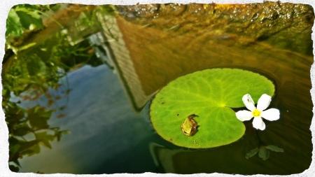 メダカ池の蛙