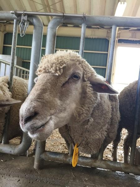 宇陀アニマルパーク 羊