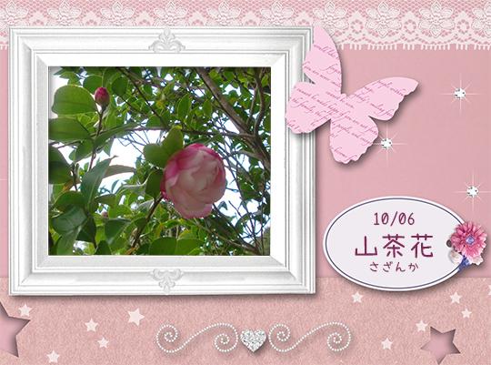 山茶花が咲きました。