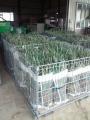 長ネギ収穫ボランティア(2)