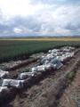 長ネギ収穫ボランティア