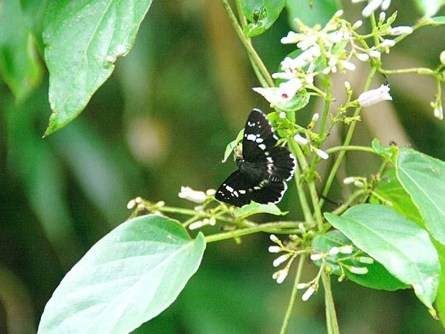 屁糞蔓(へくそかずら)の花に集うダイミョウセセリ(57554 byte)