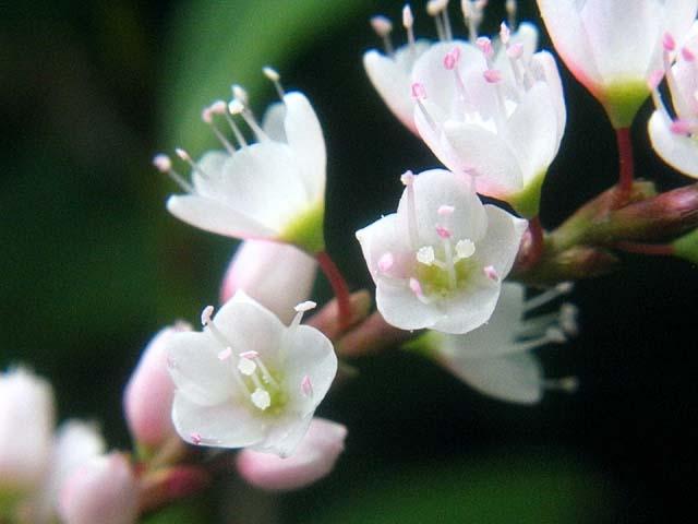 桜蓼(さくらたで)(35524 byte)