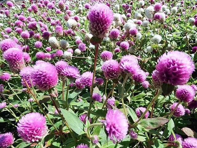 花壇の花(千日紅)(133190 byte)