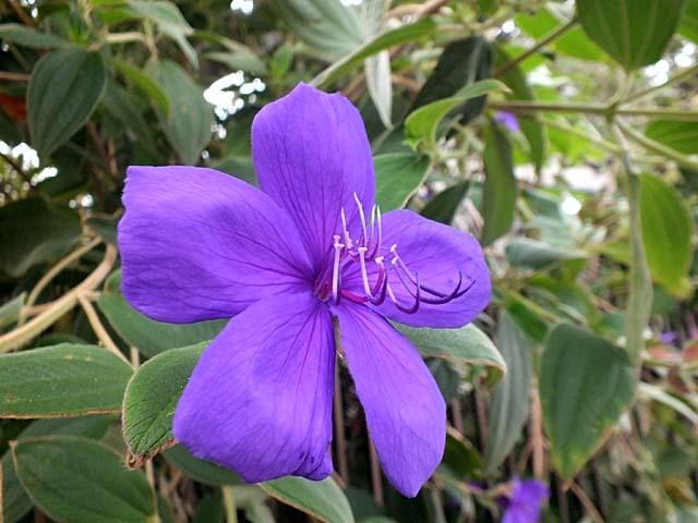 紫紺野牡丹(しこんのぼたん)(52798 byte)