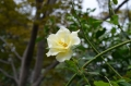 つるバラ 秋