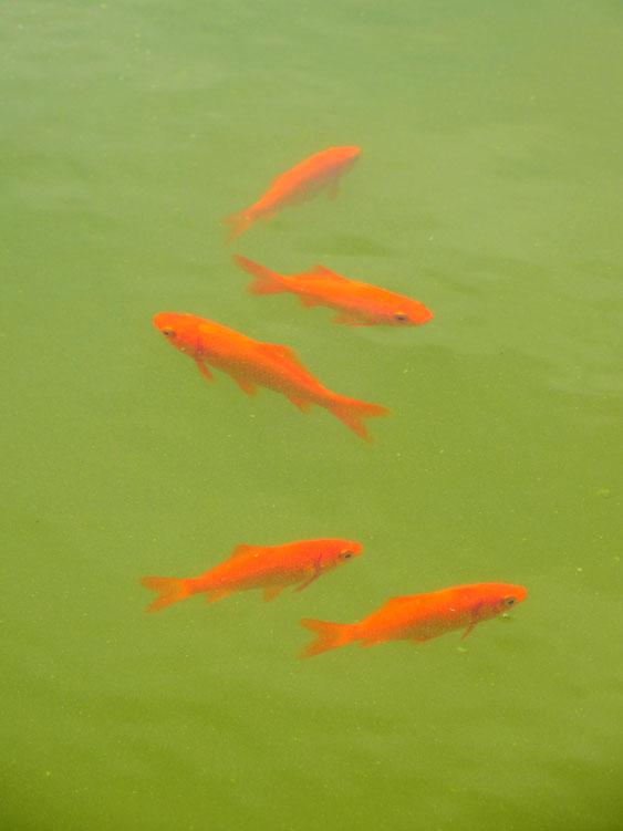 140913金魚1