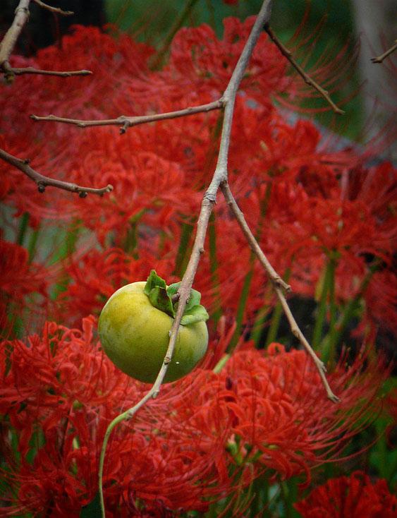 080927青柿と曼珠沙華